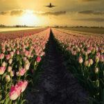 cropped-tulpen-en-vliegtuig-kopie-scaled-1.jpg
